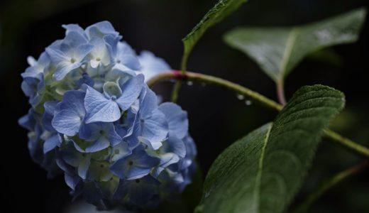 Foveonで撮る明月院の紫陽花